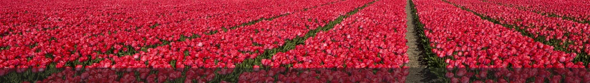 Tulip culture, Netherland